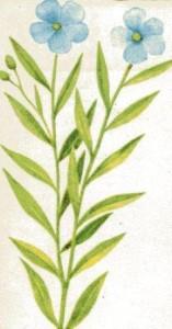 растение льна